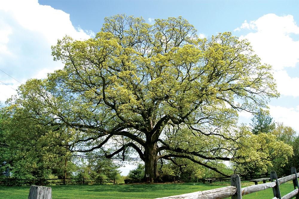 Drvo hrast je posvećeno Zevsu