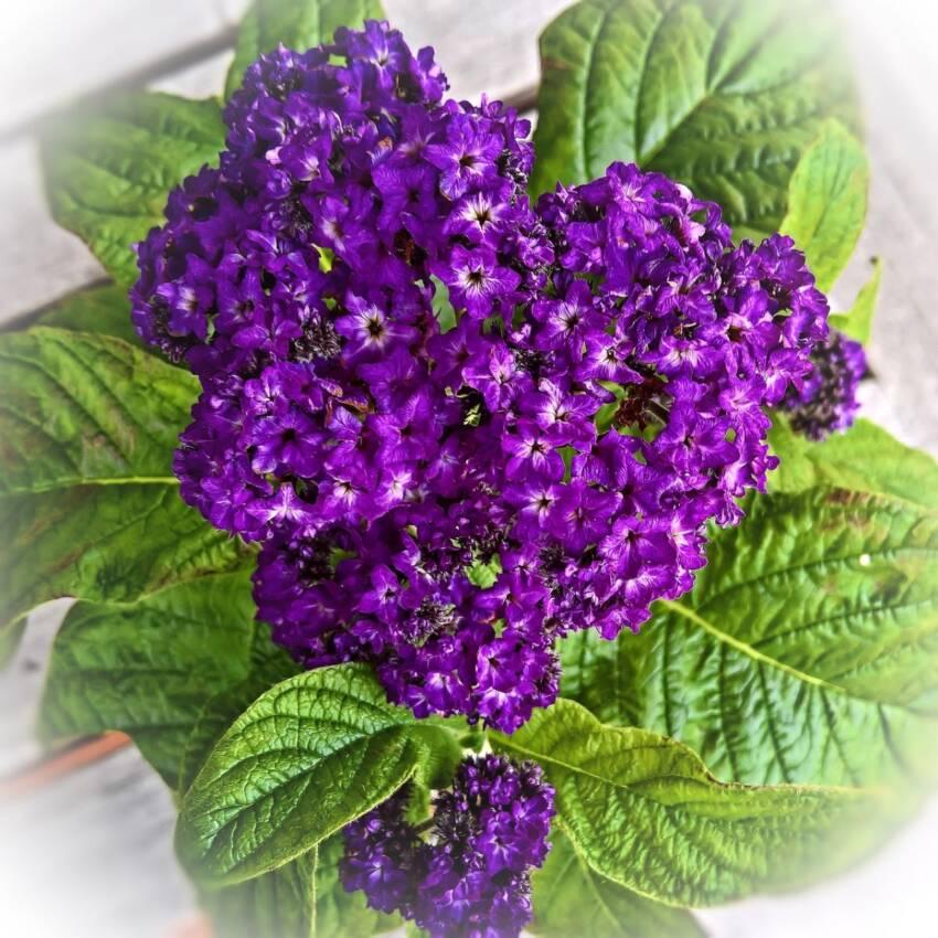 Vanilin žbun cveće